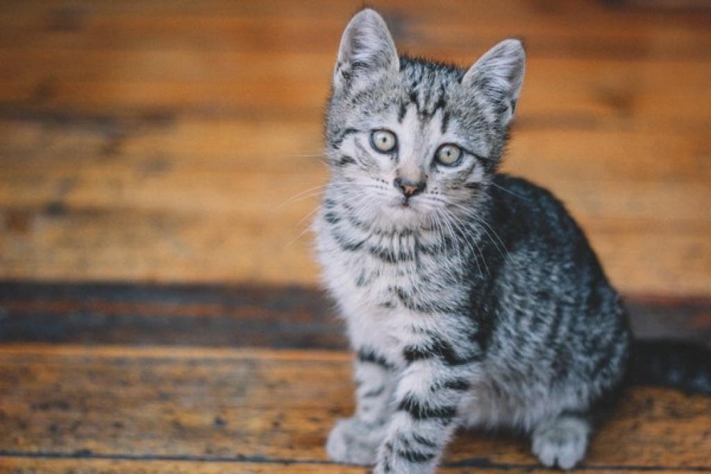 Να υιοθετήσω μια γάτα ενήλικη ή ένα μικρό γατάκι; - adpet.gr